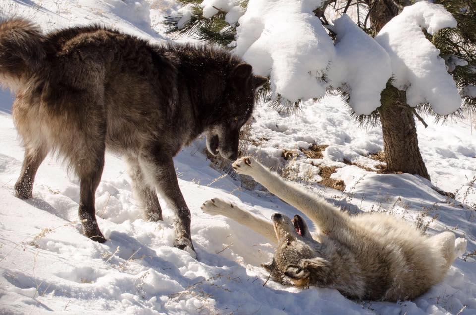 wolfwatcher.org