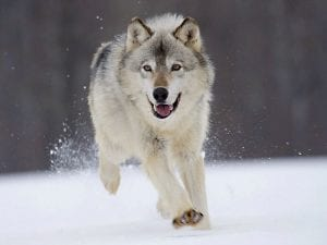 comeback_wolf