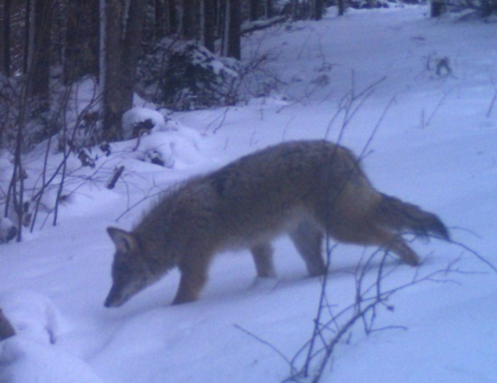 coyote control based on scientific house of cards national