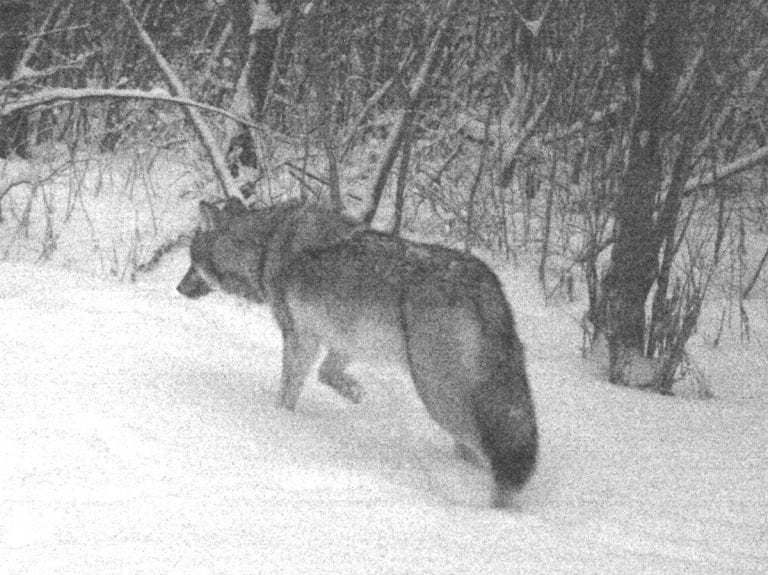 National Wolfwatcher Coalition - Educate  Advocate  Participate